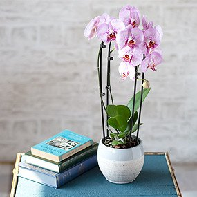 orchid plants by post