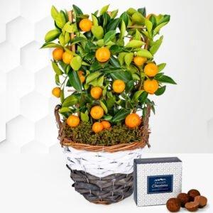 Citrus Tree - Mini Orange Tree - Mini Fruit Tree - Indoor Plants - Outdoor Plants - Plant Delivery - Plant Gifts