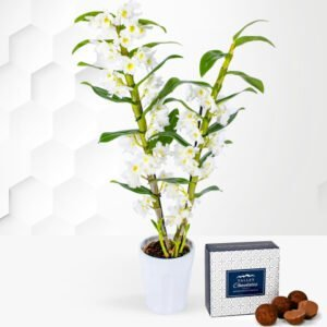 Dendrobium Orchids - Orchid Plants - Orchid Delivery - Indoor Plants - Plant Delivery - Plant Gifts - Houseplants