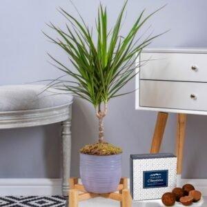Dracaena Marginata - Indoor Plants - Indoor Plant Delivery - Houseplants - Plant Gifts - Plant Delivery - Home Plants