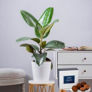 Ficus Robusta Plant - Indoor Plants - Plant Delivery - Plant Gifts - Plant Gift Delivery - Houseplants
