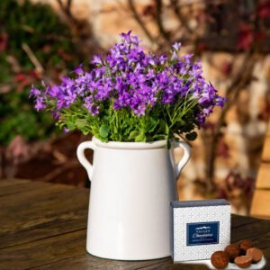 Plum Campanula Tankard - Plant Delivery - Indoor Plants - Indoor Plant Delivery - Plant Gifts - Houseplants - Home Plants