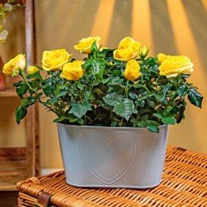 Sunshine Rose Duo - Rose Plants -Yellow Rose Plants - Indoor Plants - Indoor Plant Delivery - Plant Gifts