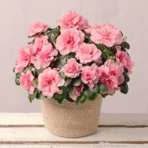 Pink Azalea in Jute Pot